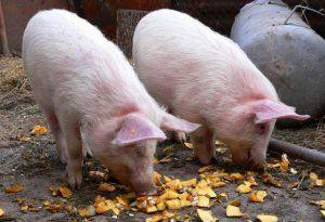 Не можна давати свиням прострочені продукти