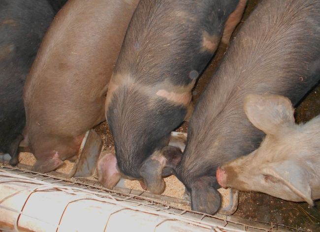 Годування свиней: відгодівлю свиней