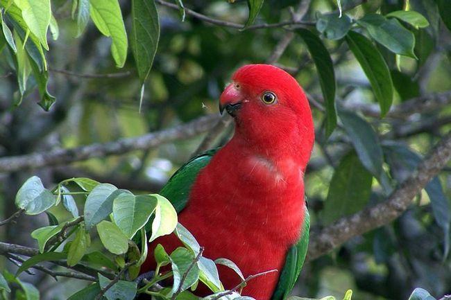 Королівський папуга (Alisterus scapularis).