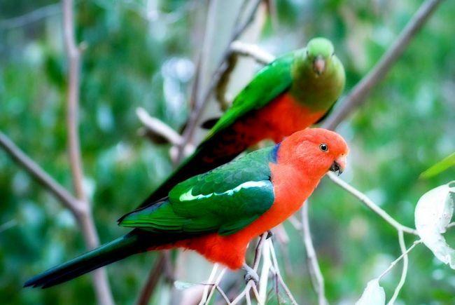 Самець і самка королівських папуг.