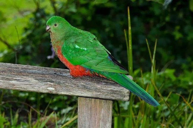 Королівські папуги - екзотичні птахи.