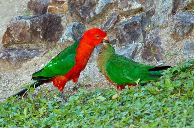 Улюблені ласощі цих птахів - фрукти.