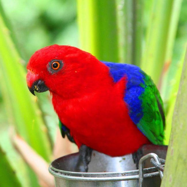 Амбоінскій папуга.