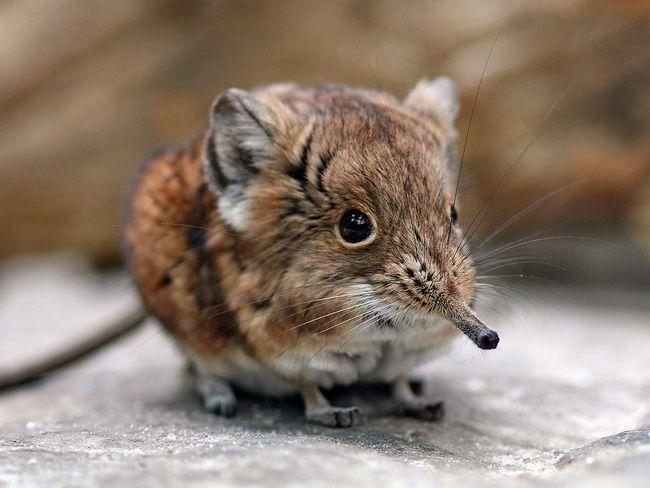 Короткоухая стрибунка - крихітне ссавець