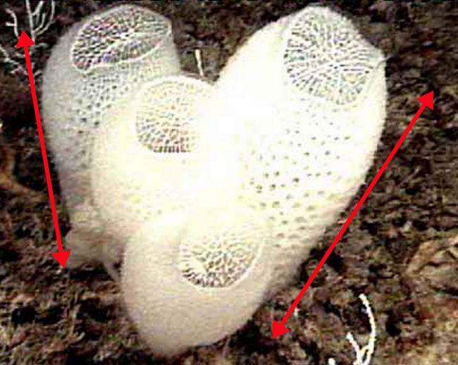 Скелет губки нагадує плетений кошик.