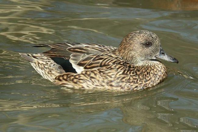 Косатка - птахів водно-болотних угідь.