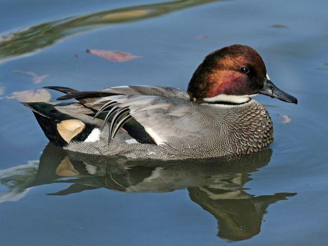 Гніздо качки влаштовують в безпосередній близькості від води