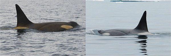 Зліва - косатка до міграції, видно жовтий наліт на коже- справа - та ж особина, «переодягнувшись» в теплих водах Південної Америки. (Фото авторів дослідження.)