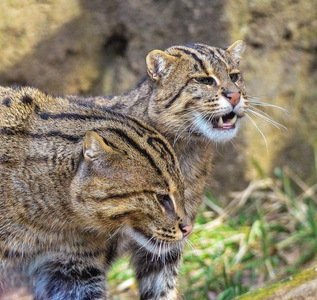 Віверрових кішки мають репутацію забіяк і забіяк, проте зустрічі з людиною вони уникають.