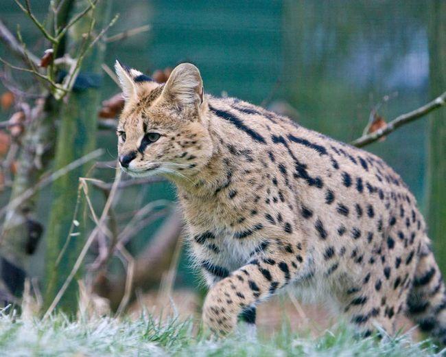 Сервал (Leptailurus serval).