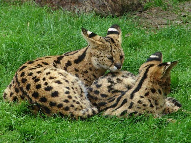 Через 6-7 місяців від народження малюки покидають матір, і знаходять власну територію.
