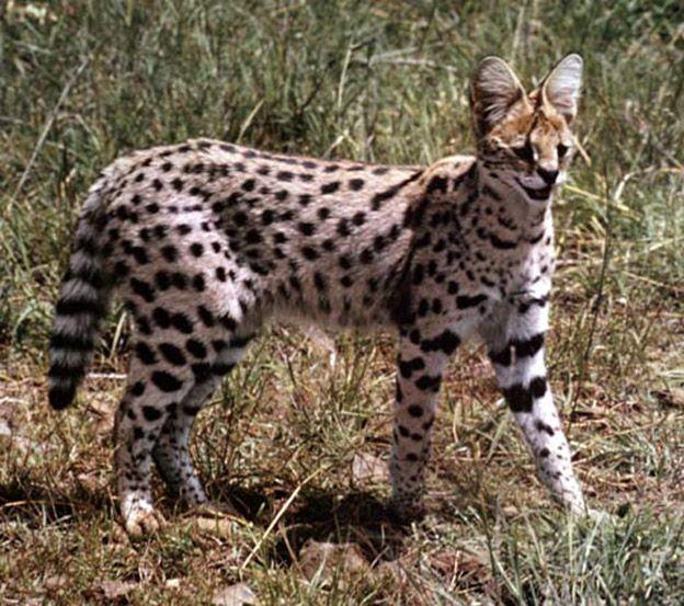 Кішка сервал