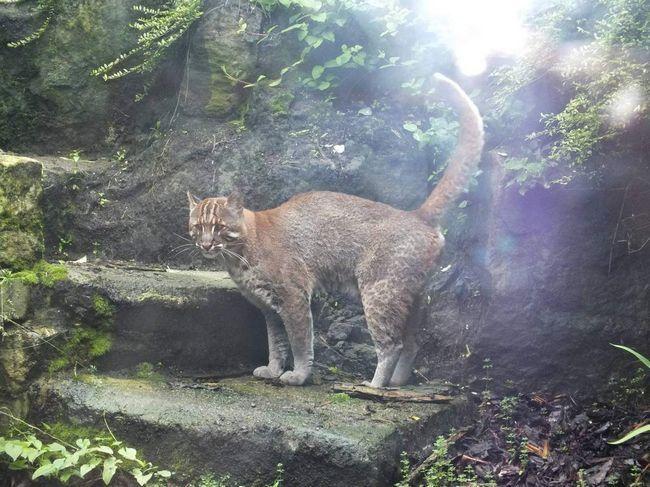 Завдяки особливій будові тіла вогняні кішки роблять неймовірні стрибки.
