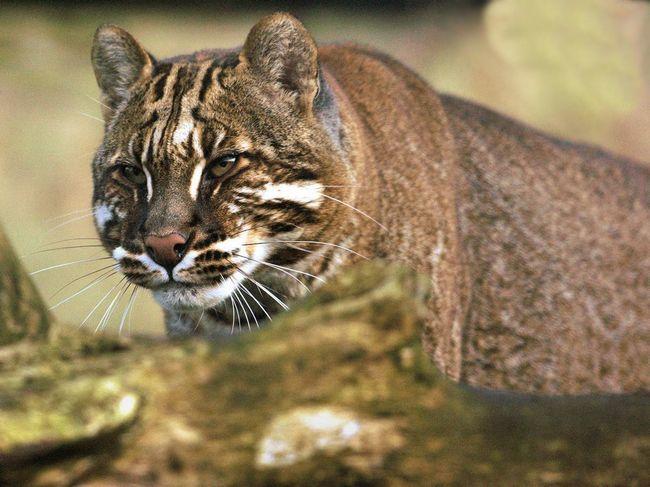 Кішки Теммінка живуть поодинці і є досить полохливими тваринами.