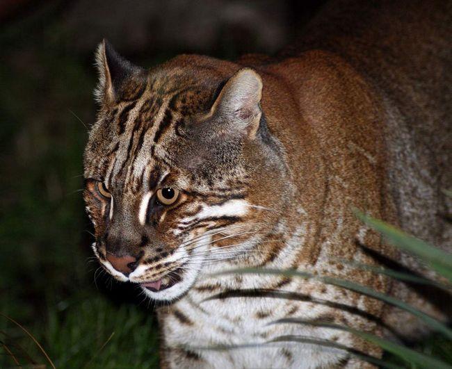 Кішка Теммінка стала рідкісною твариною. У Китаї її м`ясо вважається делікатесом, а кістки використовуються в традиційній китайській медицині.