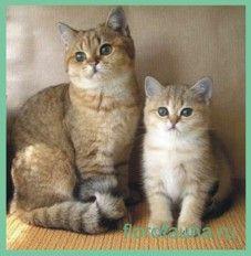 Кошкаілі кішка домашня