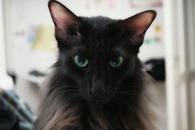 Кішки, які не викликають алергію: породи