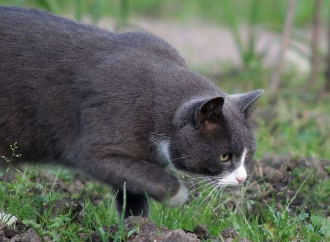 Кішки самі вирішили жити поруч з людиною 5000 років тому