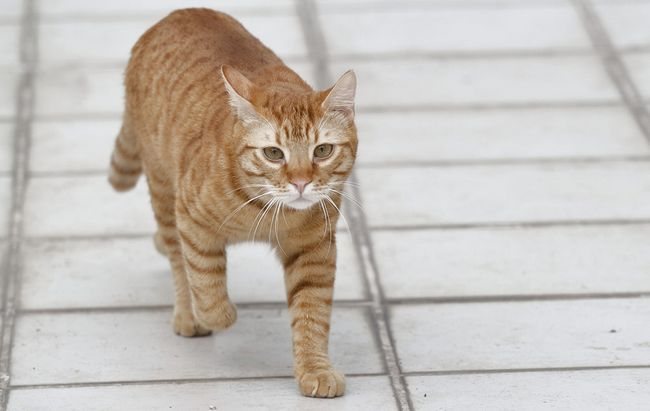 Кіт ходить з кров`ю в туалет
