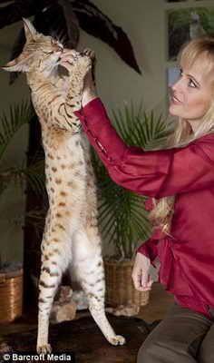 Кіт на прізвисько Скарлеттс Меджік найбільший в світі