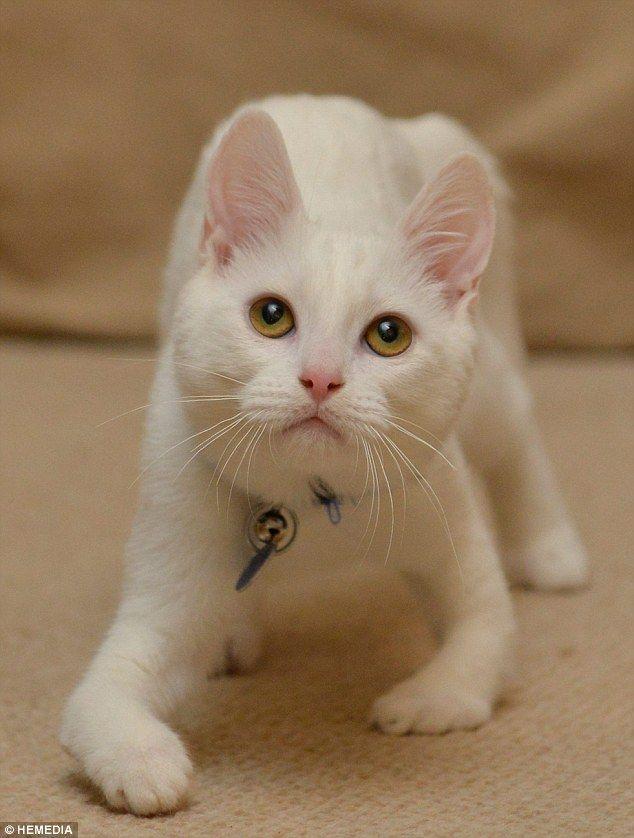 Кошеня Харві вчиться ходити, не дивлячись на вроджений дефект передніх лап