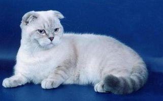 кіт блюопойнт