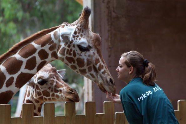 Жираф - дивовижне``изобретение`` природы
