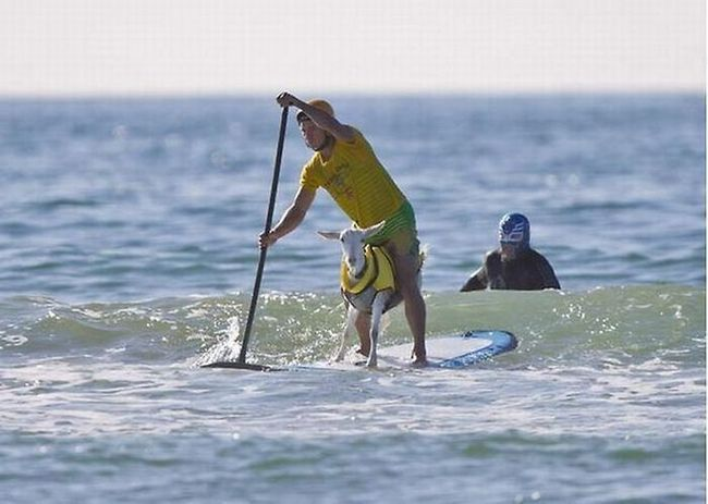 Коза Гоат - велика любітелніца серфінгу