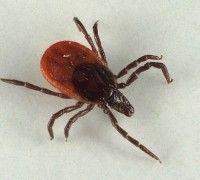 Шкірні паразитарні хвороби тварин