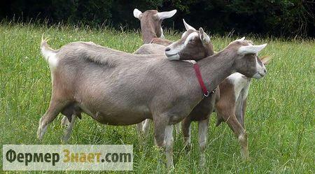 Кози тоггенбургской породи