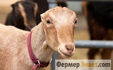 Кози ламанча - відмінне поєднання молочної продуктивності з невибагливістю в змісті