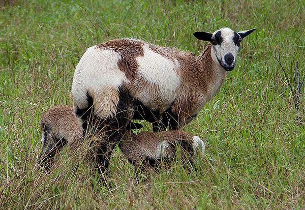 Коза і козенята