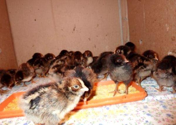 Курчата породи курей Барневельдер