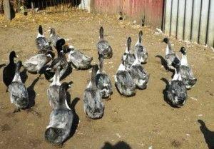 Домашнє утримання блакитних качок