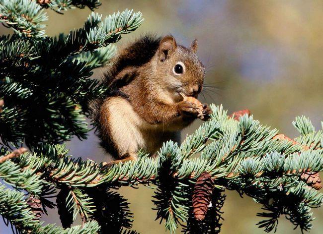 Червона білка - житель північноамериканського континенту