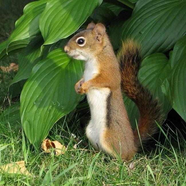 Червона білка - мешканець Північної Америки.