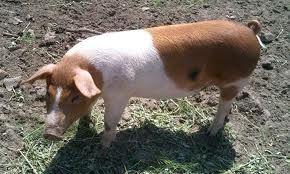 Червоно-поясна порода свиней