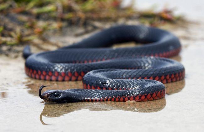 Краснобрюхая чорна змія має довжину тіла від 1.5 метрів до двох з половиною метрів.