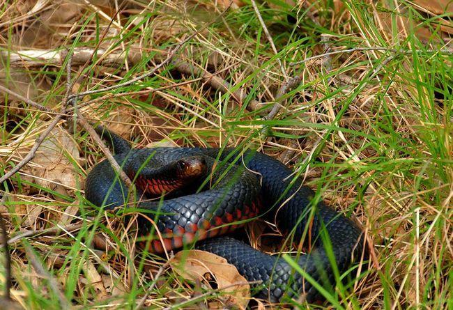 Краснобрюхая чорна змія не агресивний вид
