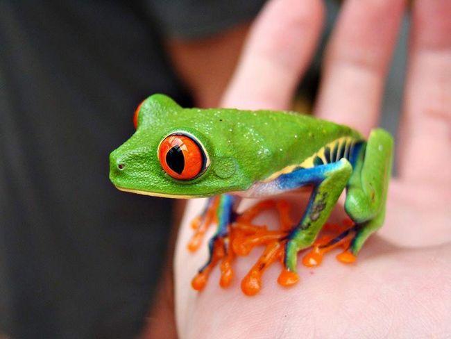 Насправді червоноокі квакші - неотруйні жаби.