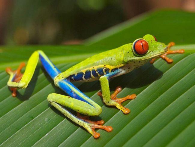 Червоноока жаба живе в низинних лісах, але іноді і в передгір`ях на висоті понад 1 км.