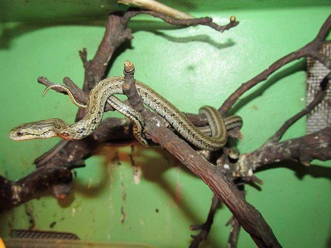 Полоз червоноспинний (elaphe rufodorsata)