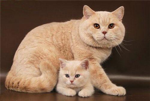 британські кошенята кремового окраса