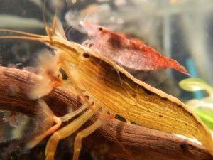 креветка фільтратор розмноження