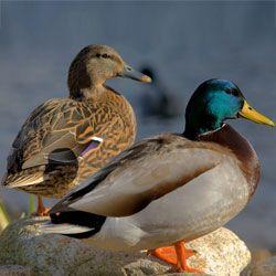 Самець і самка качки крижня
