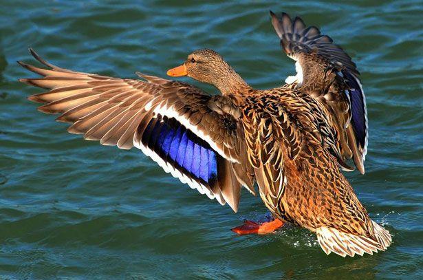 Самка качки крижня сідає на воду