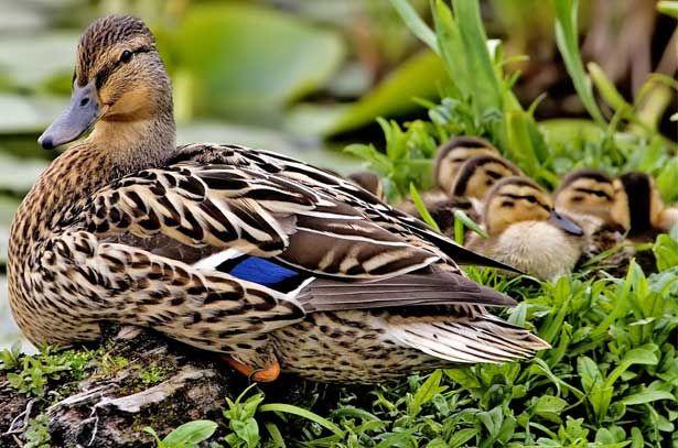 Самка качки крижня з каченятами