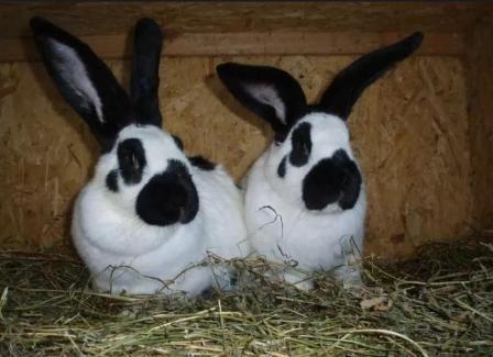 Кролики німецький строкатий велетень