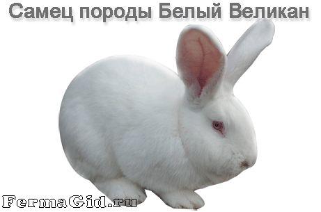 Кролик породи Білий Велетень на руках