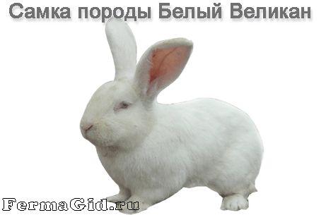 Кролик породи Білий Велетень - самка